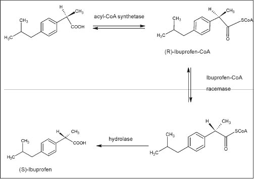 Figure 7. Metabolic stereo-selective inversion of (R)-Ibuprofen showing the formation of CoA derivative prior to the formation of (S)-Ibuprofen (89)